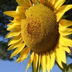 Sonnenblume, tantra-Schule, Seminar, Schueler